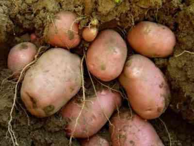 レッドソニアジャガイモの特徴