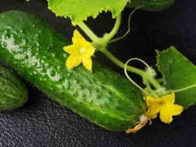ガリーナ・キジマがキュウリを栽培するためのヒント
