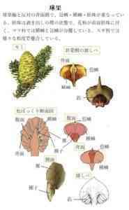 成長する裸子植物のカボチャ