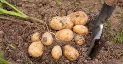 ジャガイモの後にどんな作物を植えることができますか