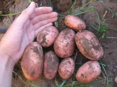 ジャガイモブルフィンチの品種の特徴