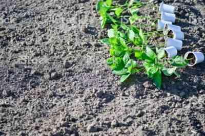 開いた地面にコショウを植える方法