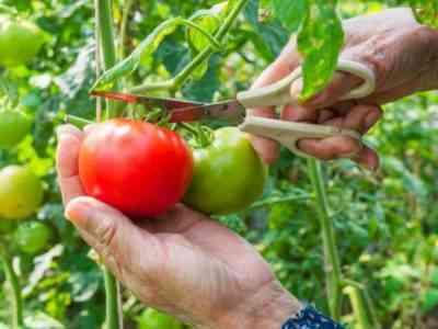 トマトの説明Paradise Delight