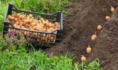 オランダのジャガイモ栽培技術の原則