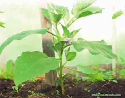 シベリアでナスを栽培するためのルール