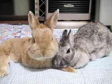 ウサギの妊娠はどうですか