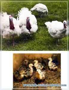 メトロニダゾールは七面鳥の家禽にどのように使用されますか?