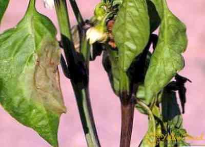 ジャガイモの葉をカールさせる理由