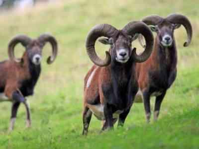 羊のブラッドゾットの原因