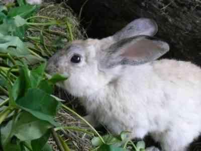 野ウサギは自然の中で何を食べるのですか?