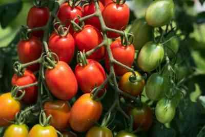 成長過程でトマトに水をやる方法