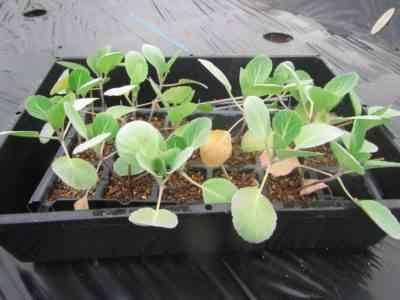ウラルにキャベツの苗を植える
