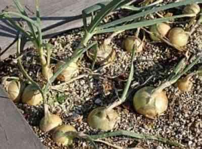 植え付けのために玉ねぎを準備する方法