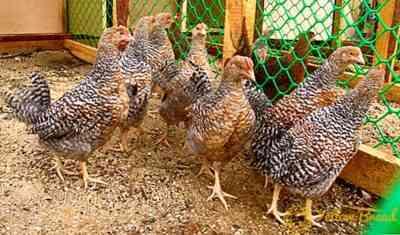 ビーレフェルダー鶏種