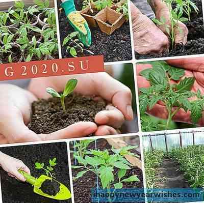 シベリアの苗にトマトを植える時期と方法