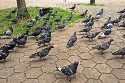 国内または野生の鳩を捕まえる方法