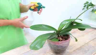 蘭に水をまくためのニンニクチンキ