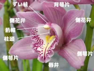 蘭の花の茎の繁殖を行う方法