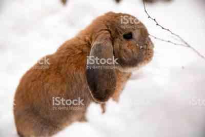 装飾的なウサギの品種