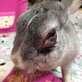 ウサギに水っぽい目ができるのはなぜですか