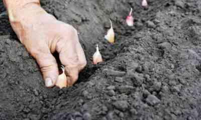 冬にんにくを植えるためのルール