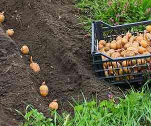 ジャガイモを植えるための許容深さ