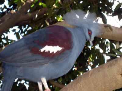 イランの鳩の特徴と特徴