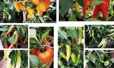 シベリアにコショウを植えるためのルール