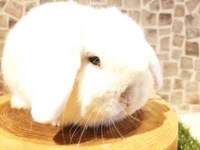 ラム品種の垂れ耳ドワーフウサギの世話