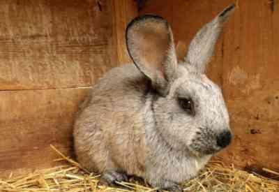 ウサギの濡れた銃口を治療する方法