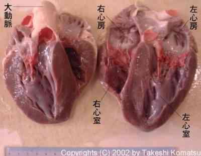 豚の心臓はいいですか?