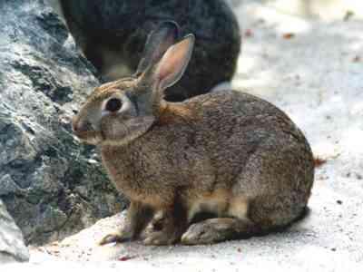 野ウサギの特徴