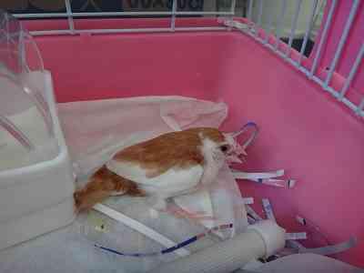 鶏に甲状腺腫がある場合の対処