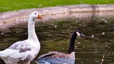 ガチョウリンダと他の鳥を区別する方法