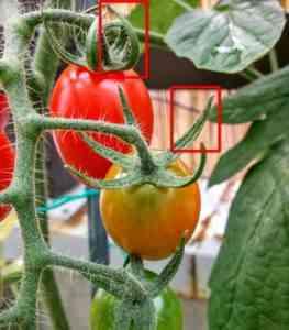 トマトの上をねじる理由