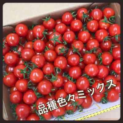 トマト品種カチューシャの特徴