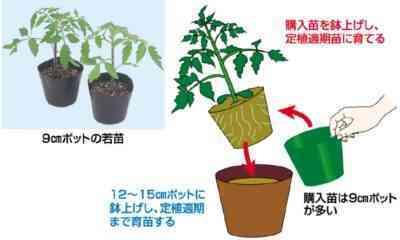 トマトの適切な植え付け