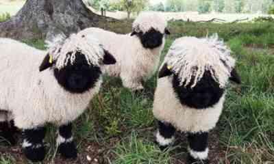 最も一般的な羊の品種