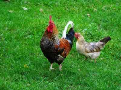ニワトリが卵をつつくのはなぜか、どう対処するか