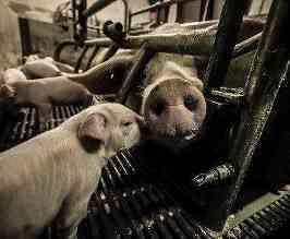 家でうさぎを適切に屠殺して家畜にする方法