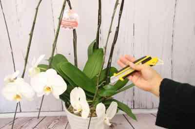 胡蝶蘭のケアのルール