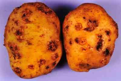 Scarbジャガイモの特徴