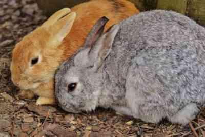 メスのウサギがウサギを食べる理由