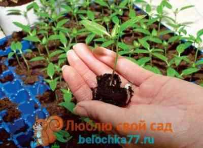 Oktyabrina Ganichkinaの方法でコショウを植える
