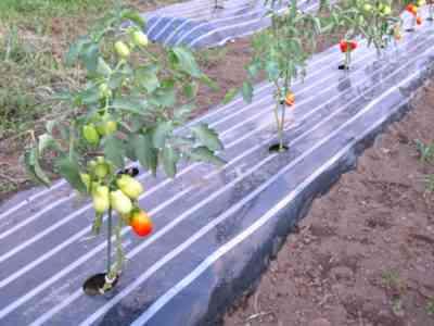 トマトをマルチングする方法と方法