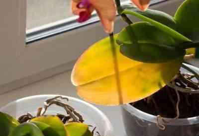 胡蝶蘭で葉が黄色くなる
