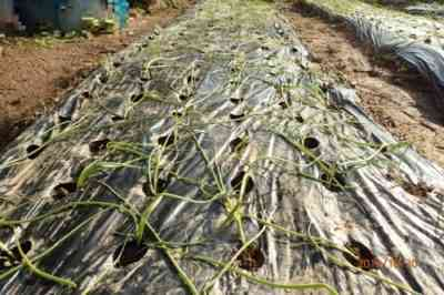 タマネギの植え付け日は2019年