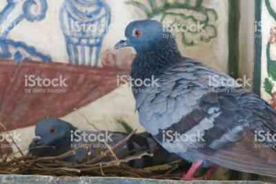 野生および国内の鳩
