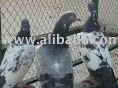 Tippler鳩の特徴
