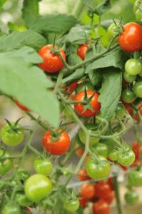 トマト品種カチャの説明